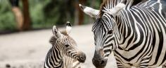 ms-ms-zebra-com-filhote-large
